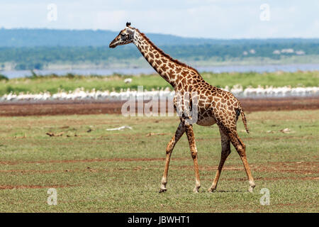 A Masai Giraffe walking away - Stock Photo