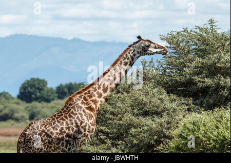 A Masai Giraffe feeds on the top of Acacia tree - Stock Photo