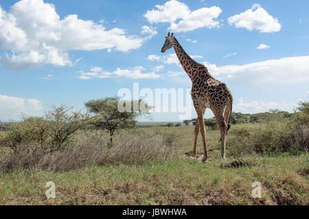A Masai Giraffe walking away in the Serengeti - Stock Photo