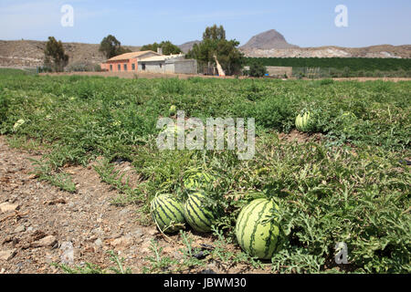 Watermelons on the watermelon plantation in Spain - Stock Photo