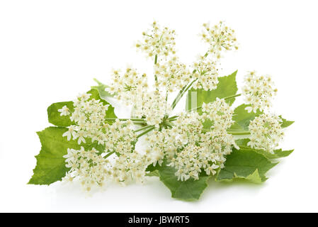 Angelica archangelica flowers isolated on white background - Stock Photo