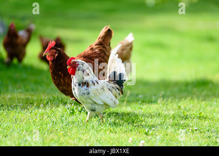 Rooster and hens on traditional free range poultry organic farm grazing on the grass. - Stock Photo