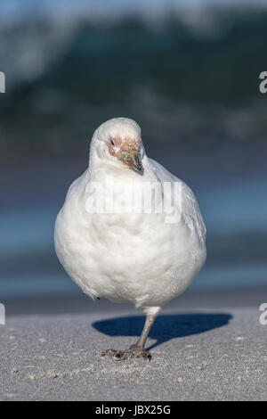 Sheathbill - Stock Photo
