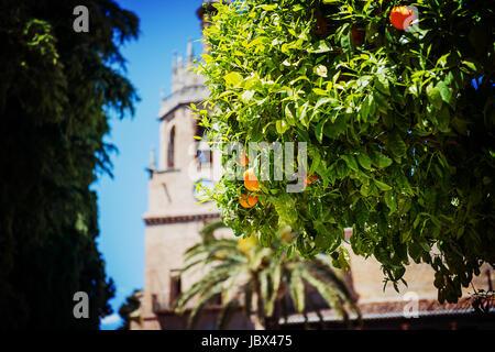 Oranges on the Tree - Stock Photo
