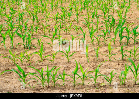 Agriculture -field of corn seedling emerges from the soil - Stock Photo
