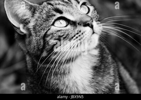 Close up portrait of an isolated female young tabby cat in black and white - Stock Photo