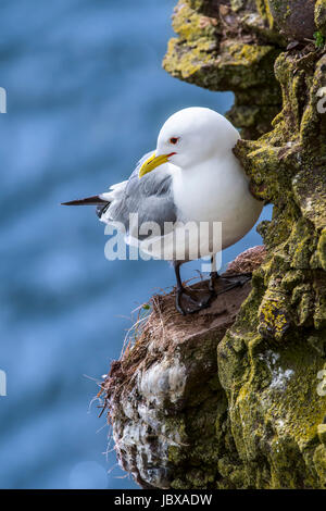 Black-legged kittiwake (Rissa tridactyla) resting on rock ledge in sea cliff face at seabird colony, Scotland, UK - Stock Photo