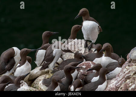 Densely packed breeding colony of common murres / common guillemots (Uria aalge) nesting in spring on rock ledges - Stock Photo