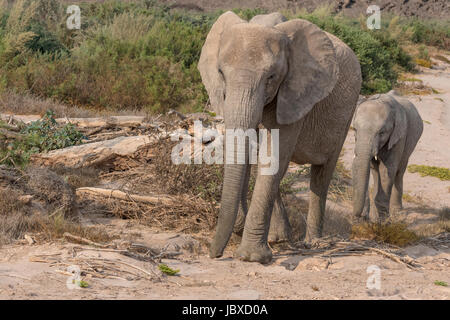 Desert-adapted African Elephants in Namibia have adapted to their dry, semi-desert environment by having a smaller - Stock Photo