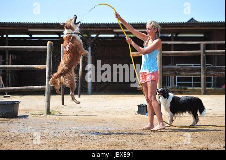 australian shepherd & border collie - Stock Photo