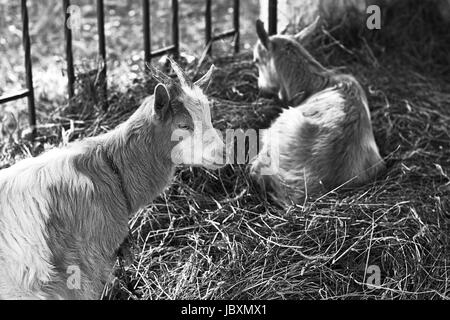 Two goats sitting on hey in black and white - Stock Photo