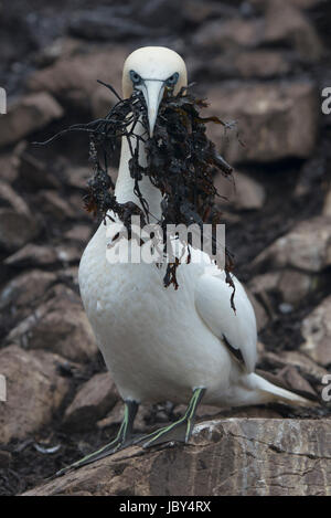 Close up of gannet with mouth full of seaweed for nest - Stock Photo