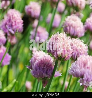 Schnittlauch - chives 04 - Stock Photo