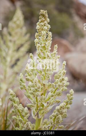 Mojave Yucca plants (Yucca schidigera, aka Spanish dagger), blooming in early spring - Mojave desert, California - Stock Photo