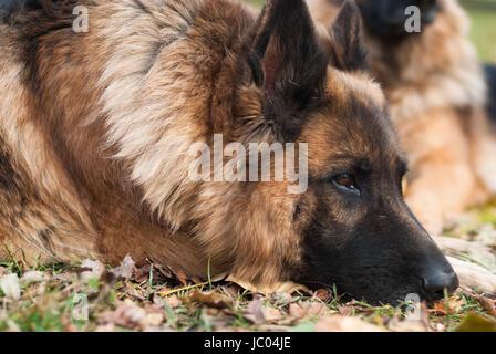 German shepherd dog, Alsatian - Stock Photo