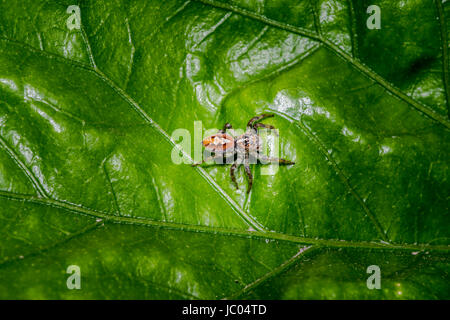 Little hairy jumping spider on a plant leaf - Stock Photo