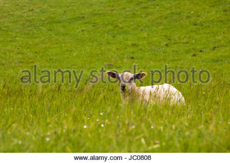 Baby sheep lamb puppy sheep wooly sheep fluffy texel sheep North Frisia grass embankment texelsheep  germany countryside - Stock Photo