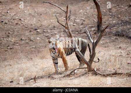 A female Bengal Tiger doing the Flehmen response after sniffing a tree. - Stock Photo