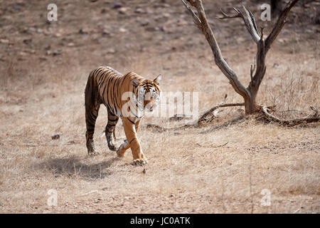 A Female Bengal Tiger walking across a dry piece of land then onto a road with a lake in the back ground - Stock Photo