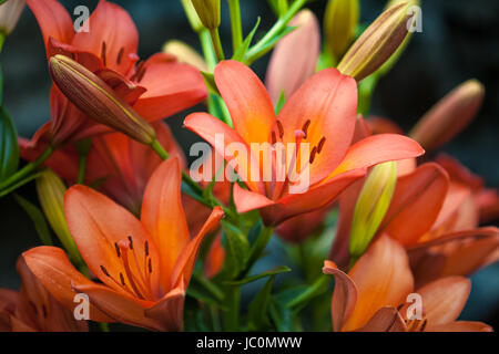 Closeup shot of red tiger lily on black background - Stock Photo