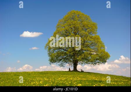 Große perfekt gewachsene Linde im Allgäu auf einer Frühlingswiese - Stock Photo
