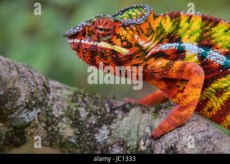 Colourful Panther chameleon (Furcifer pardalis), Andasibe-Mantadia National Park, Madagascar - Stock Photo