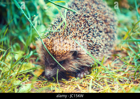 Hedgehog walking in the grass - Stock Photo