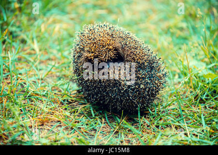 Rolled in a ball hedgehog is on the grass - Stock Photo