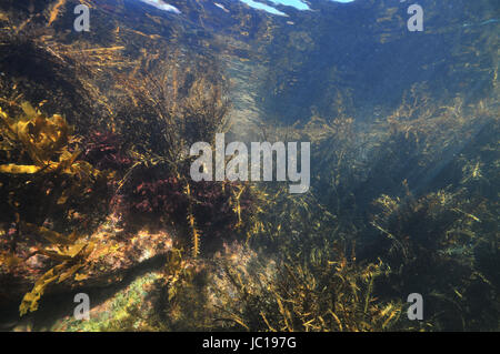 Jungle of various sea weeds grown on coastal rocks in tidal zone of temperate Pacific ocean. - Stock Photo