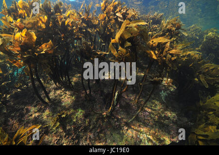 Dense forest of brown kelp Ecklonia radiata on rocky bottom in shallow water. - Stock Photo
