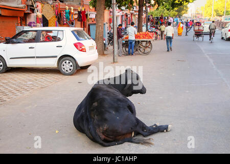 Black cow lying at Johari Bazzar Street in Jaipur, Rajasthan, India. Cattle is considered sacred in Hinduism. - Stock Photo