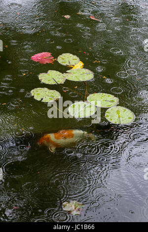 One orange and white koi fish swims in a pond with light green lily pads, rain drops creating circular ripples on - Stock Photo