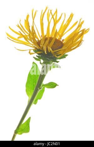 Echter Alant (Inula helenium) - eine Blüte freigestellt vor weißem Hintergrund - Stock Photo