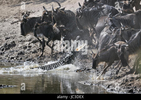 Wildebeest (Connochaetes taurinus) attacked by Crocodile (Crocodylus niloticus) in Grumeti river, Serengeti national - Stock Photo