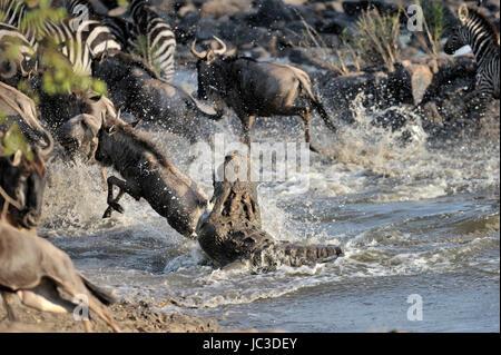 Wildebeest (Connochaetes taurinus) attacked by Crocodile (Crocodylus niloticus) in Grumeti river, Serengeti national - Stock Photo