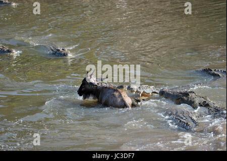 Nile Crocodile (Crocodylus niloticus) catching young Wildebeest (Connochaetes taurinus), Grumeti river, Serengeti - Stock Photo