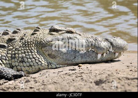 Nile Crocodile (Crocodylus niloticus) portrait, Grumeti river, Serengeti National Park, Tanzania. - Stock Photo
