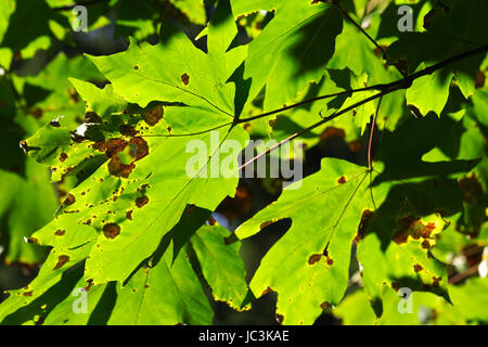 The colors of the start of Autumn as seen on maple tree leaves - Stock Photo