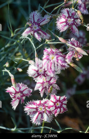Pink streaked white fragrant flowers of the garden pink, Dianthus 'Tatra Fragrance' - Stock Photo