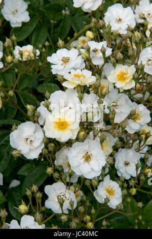 Profuse flowers on a scrambling Rambling Rector climbing rose, Berkshire, June - Stock Photo