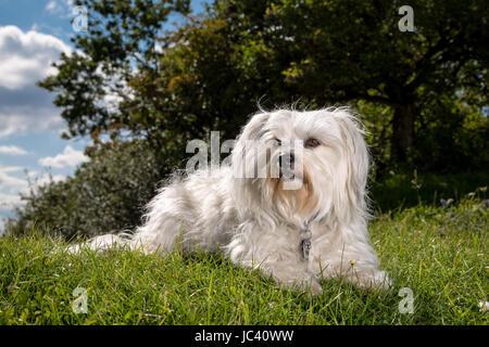 Ein weißer Hund liegt in der Wiese und schaut sehr wachsam. - Stock Photo