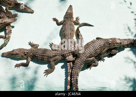 few young crocodiles on Crocodile Farm outdoors - Stock Photo