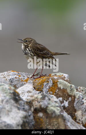 Meadow pipit, Anthus pratensis, photographed next to Tarbatness lighthouse in the highlands of Scotland - Stock Photo
