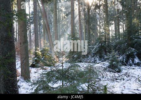 Winterwald, Fichtenwald, Nadelwald, Mischwald im Winter, Gewöhnliche Fichte, Rot-Fichte, Rotfichte, Picea abies, - Stock Photo