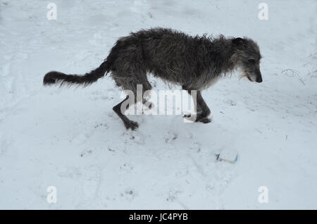 Scottish Deerhound play with a ball in snow. - Stock Photo