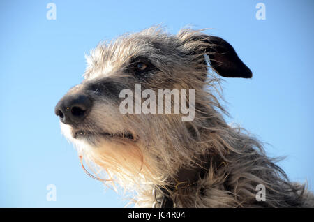 Scottish Deerhound face portrait. - Stock Photo