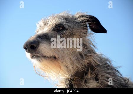 Scottish Deerhound face portrait. - Stock Photo