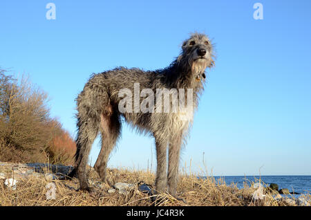Scottish Deerhound standing at a beach on a sunny day. - Stock Photo