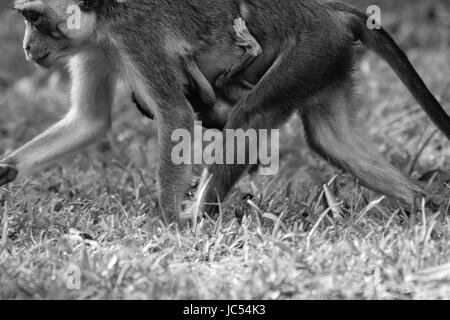 Wild gray Langur monkeys playing baby and adult - Stock Photo