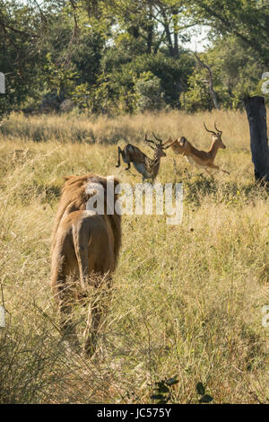 Male lion hunting impala - Stock Photo